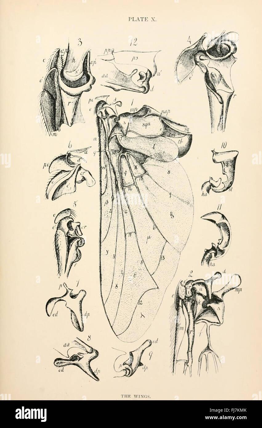 Anatomie, Physiologie, Morphologie und Entwicklung der Schlag-Fliege ...