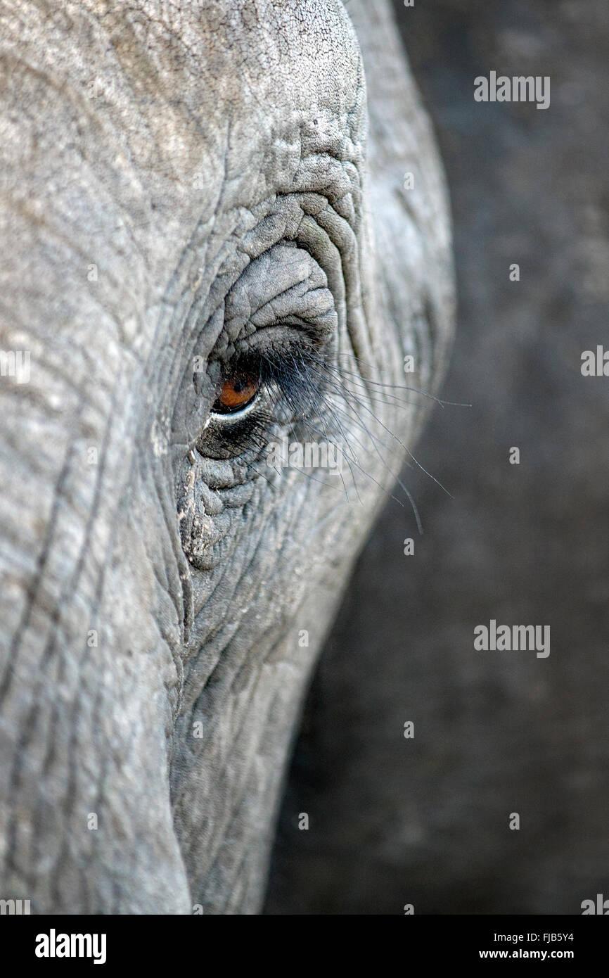 Elefanten-Auge Stockbild