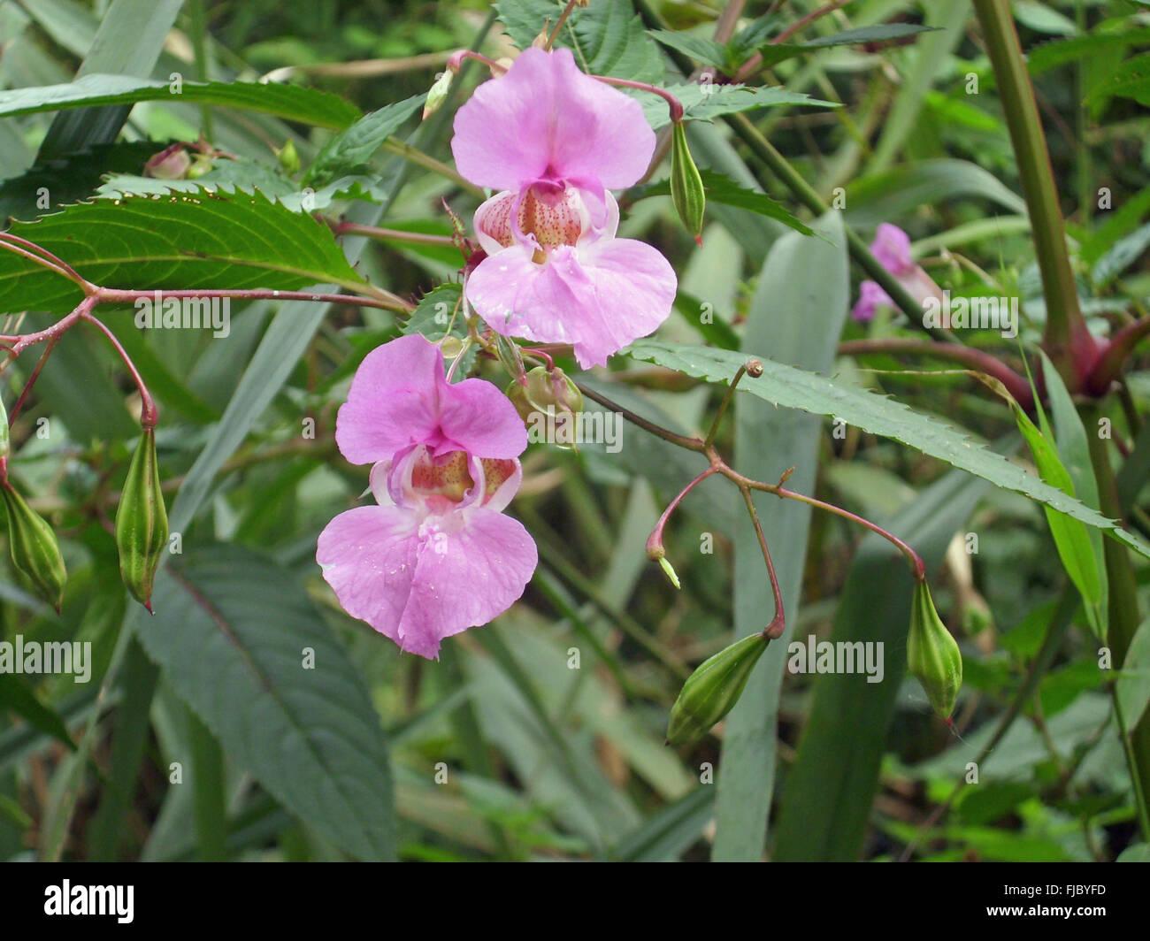 Blumen und explosive Samenschoten des invasiven Unkrauts, Himalaya Balsam, Impatiens glandulifera, wächst in einem Sumpf mit einem Hintergrund von Blättern. Stockfoto