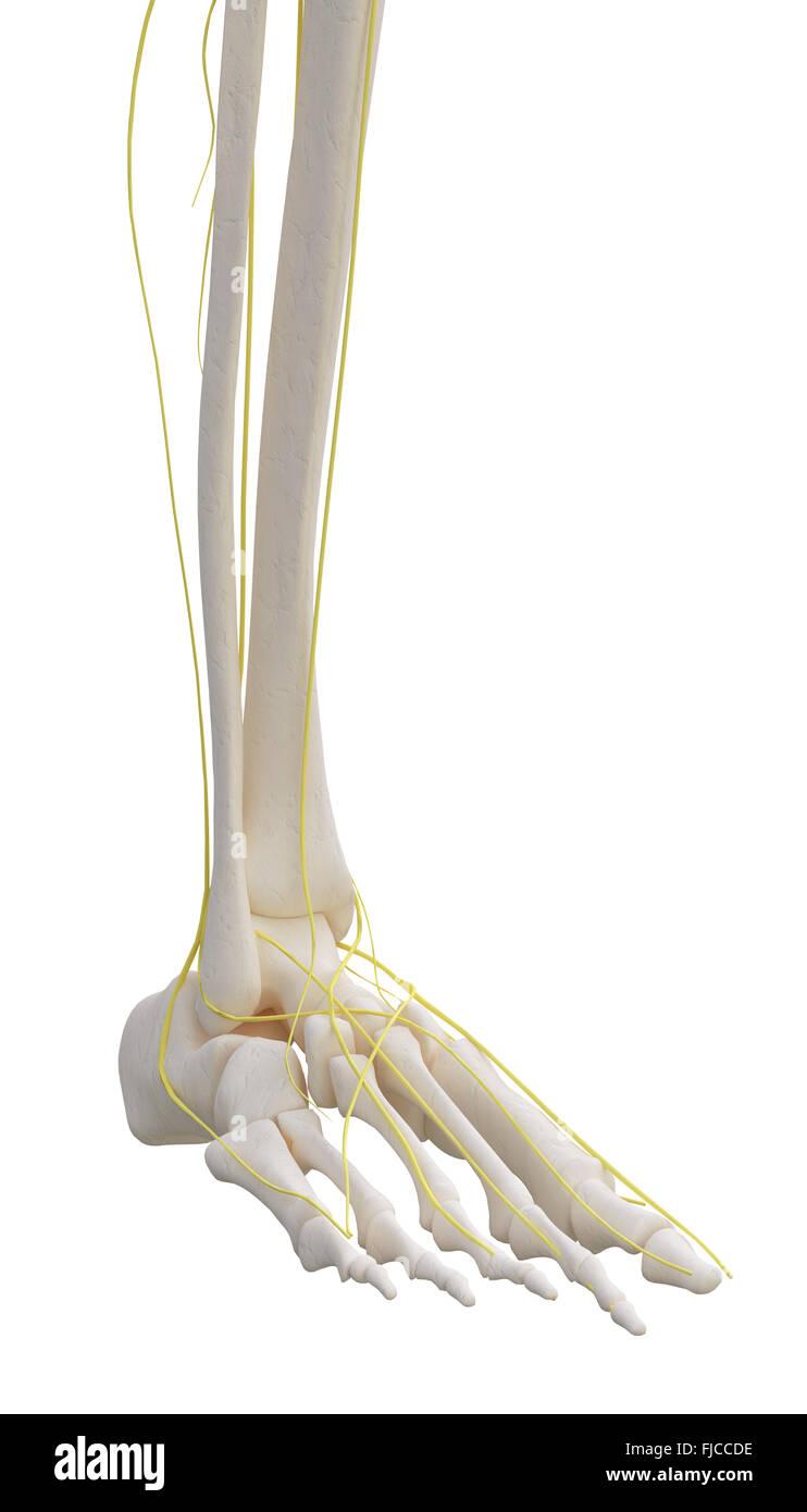Linkes Bein Skelett mit nervösen isoliert auf weiss Stockfoto, Bild ...