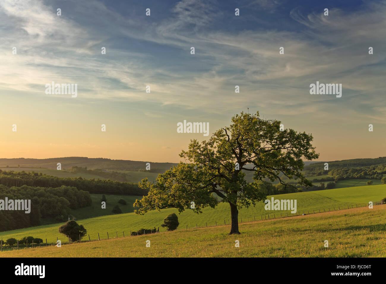 Einsamer Baum bei Sonnenuntergang und Blick auf Goodwood Countyside, West Sussex Stockbild