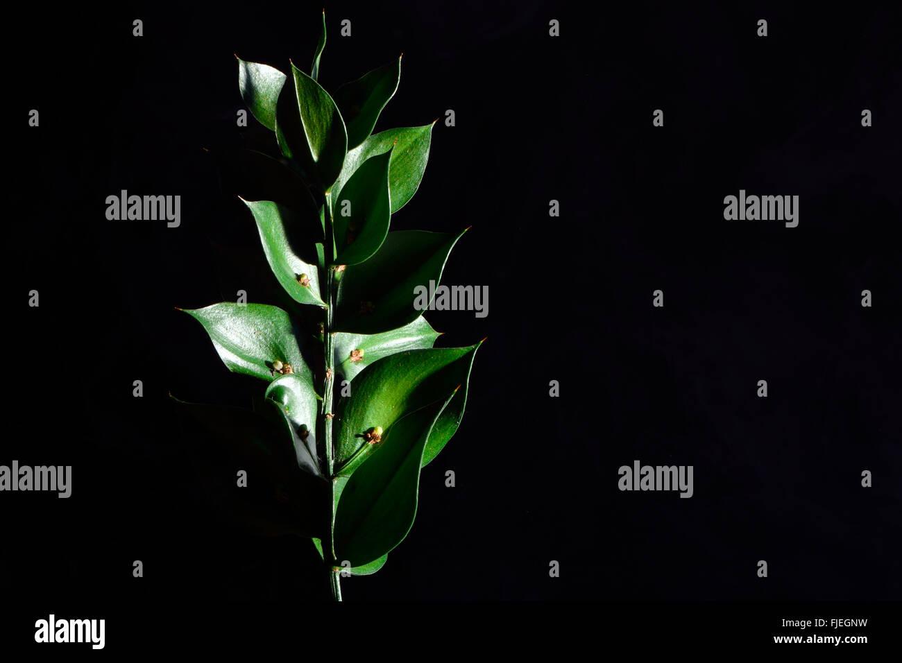 Mäusedorn (Ruscus Aculeatus). Ein Strauch in der Spargel-Familie (Asparagaceae), mit Samen einzeln in Kladodien Stockbild