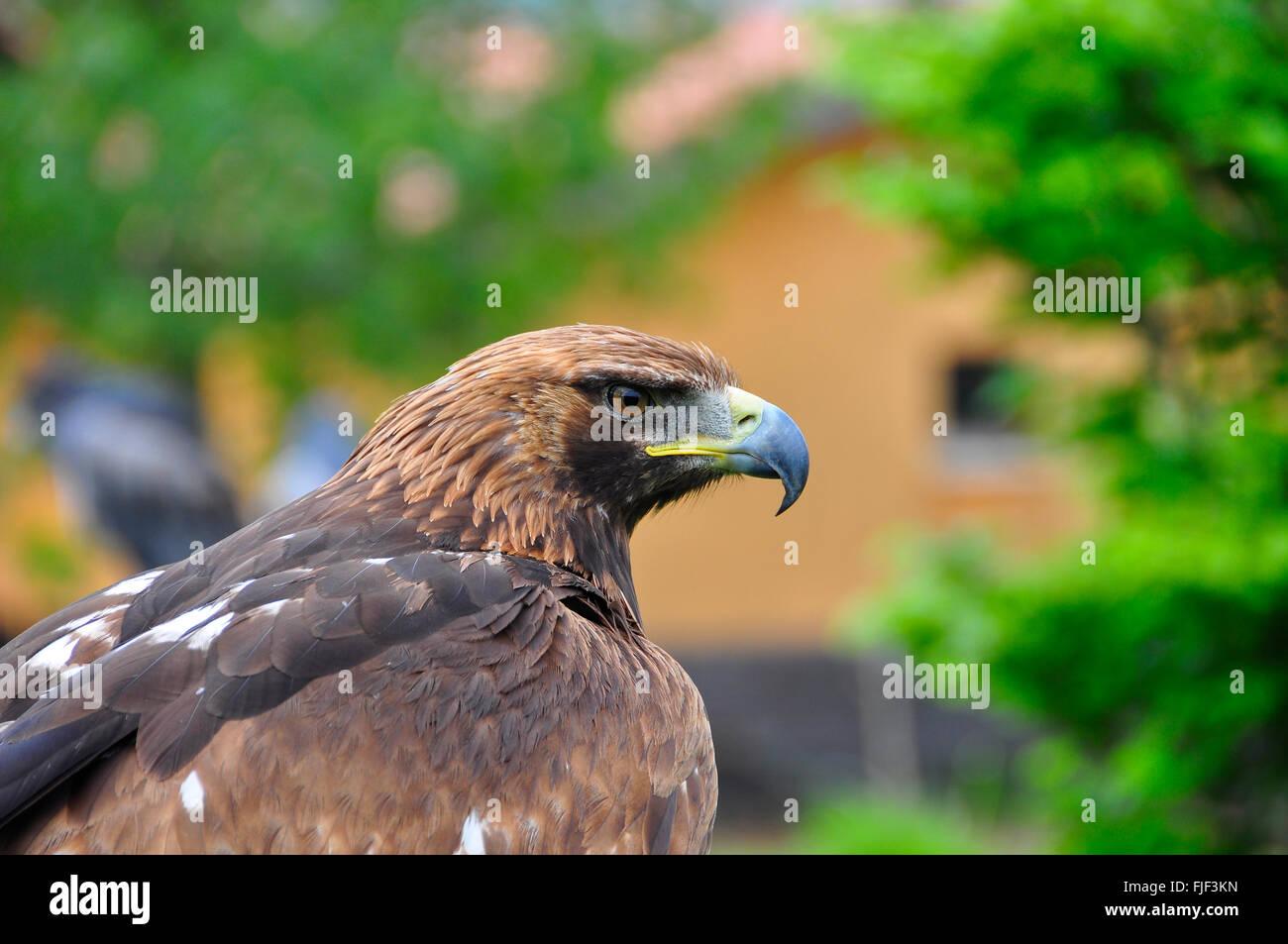 Schöne Falke starrte auf die Kamera in einer Ausstellung der Falknerei Stockbild