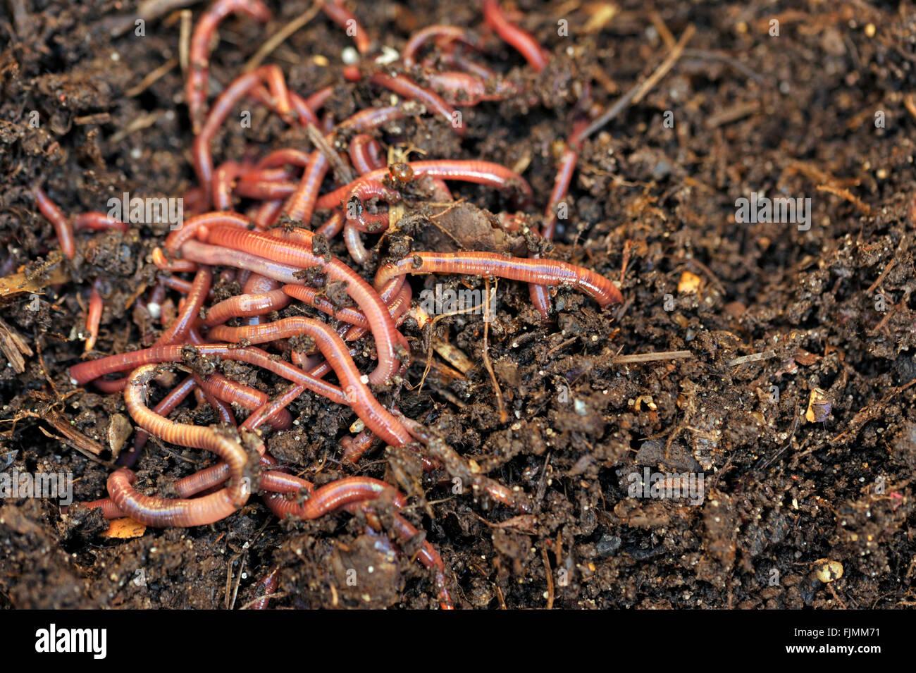 Gartenkompost und Würmer, die recycling-Anlage und Küche Essen ...