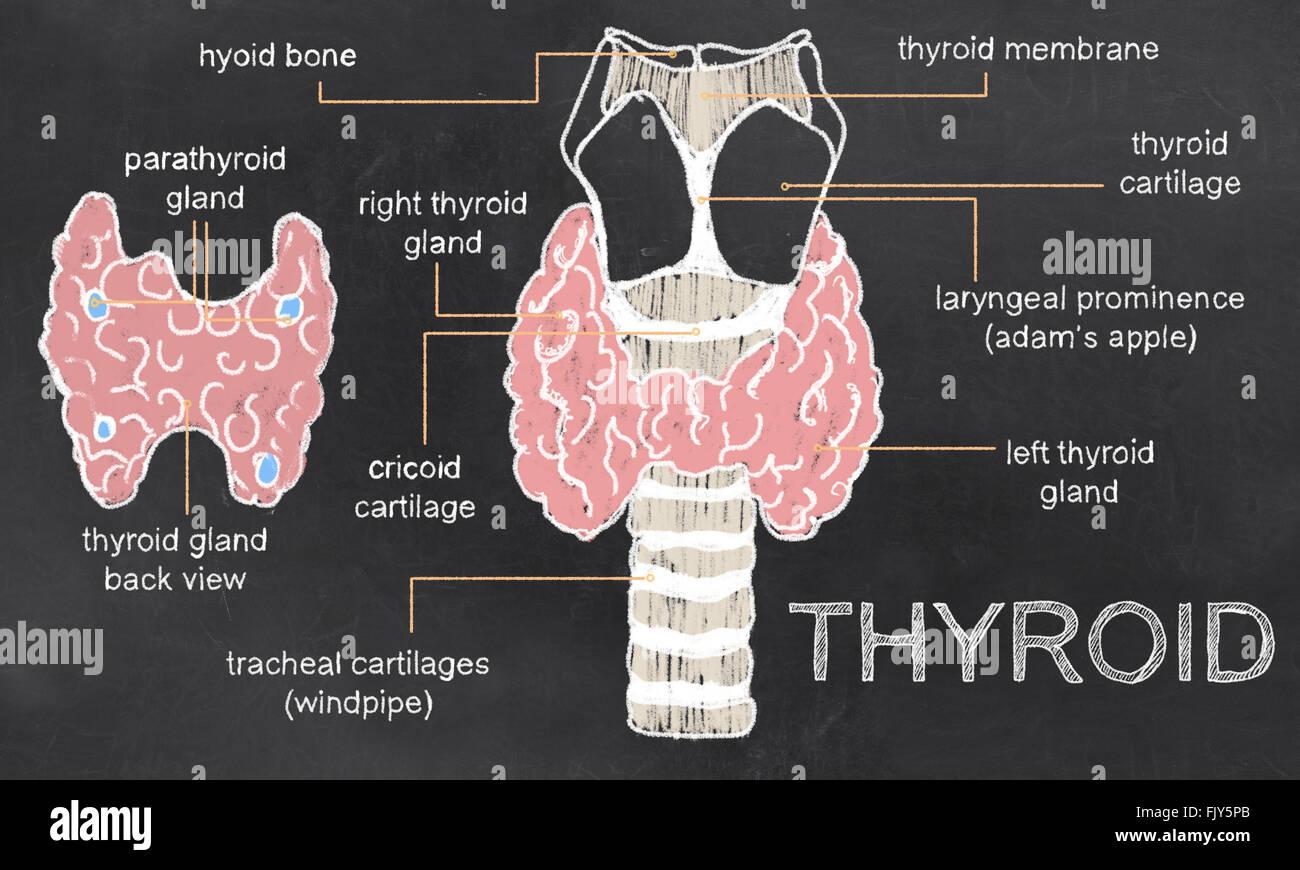 Thyroid Stockfotos & Thyroid Bilder - Alamy