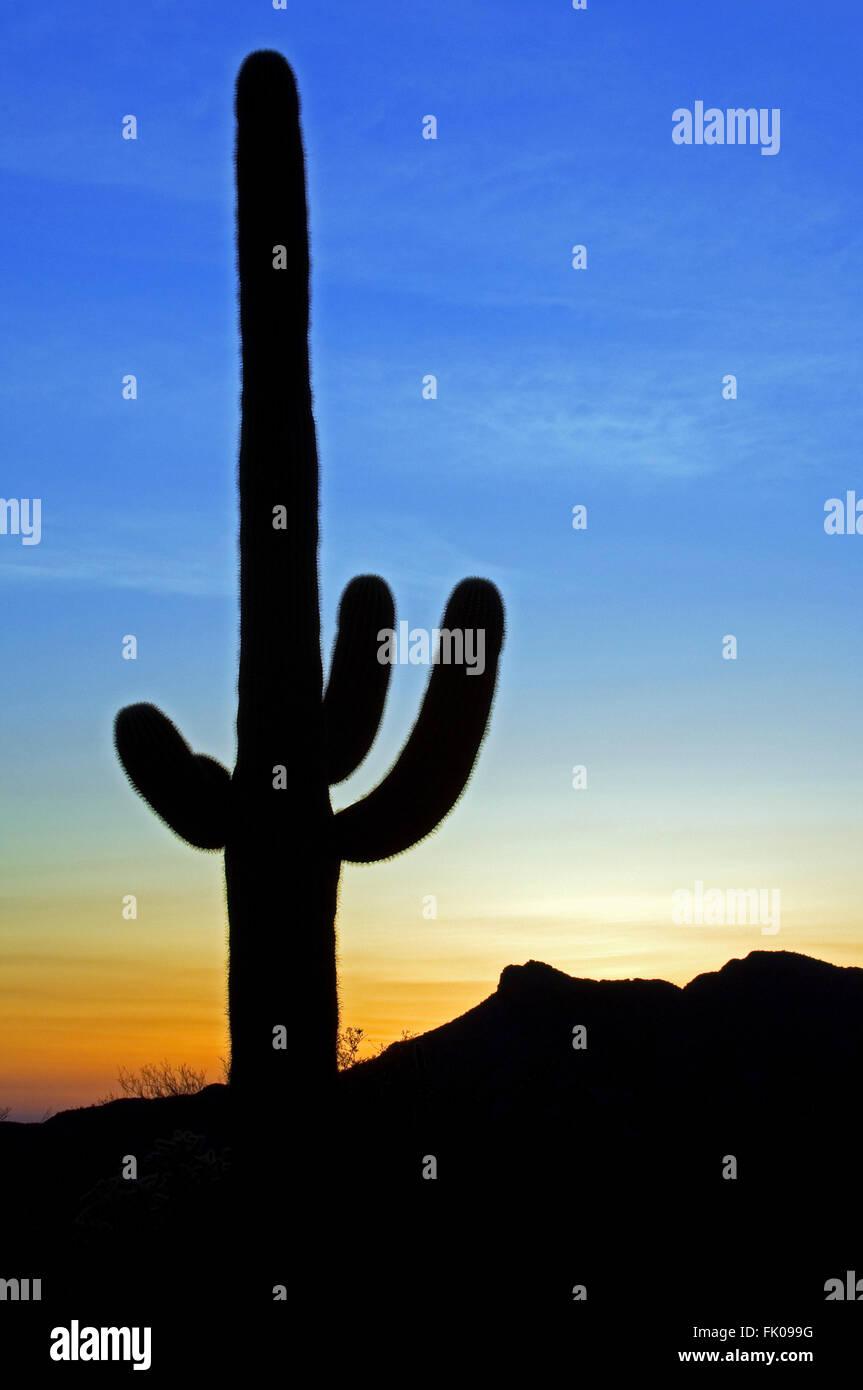 Saguaro Kaktus (Carnegiea Gigantea / Cereus Giganteus) Silhouette gegen Sonnenuntergang in der Sonoran Wüste, Arizona, Stockfoto