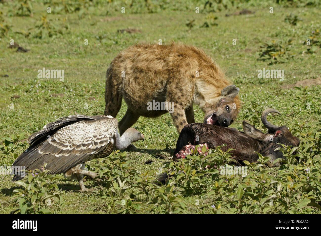 Schwanger gefleckte Hyäne und Ruppells Gänsegeier auf Gnus zu töten, Ngorongoro Conservation Area Stockbild