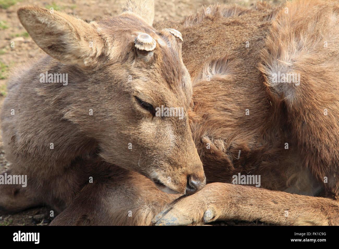 Japan, Nara, Hirsch, Stockbild