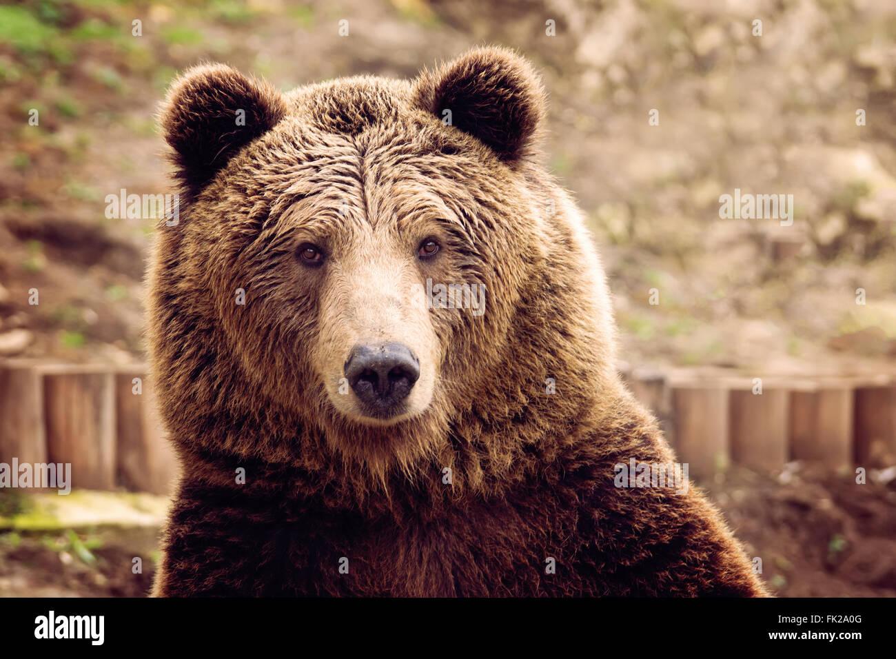 Vorderansicht des Braunbären Stockbild