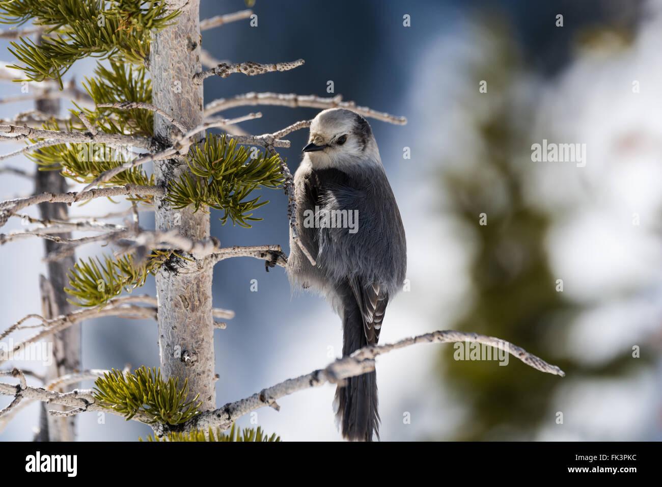 Die grau Jay (Perisoreus Canadensis), auch graue Jay, Kanada Jay oder Whiskey Jack, ist ein Mitglied der Familie Stockbild