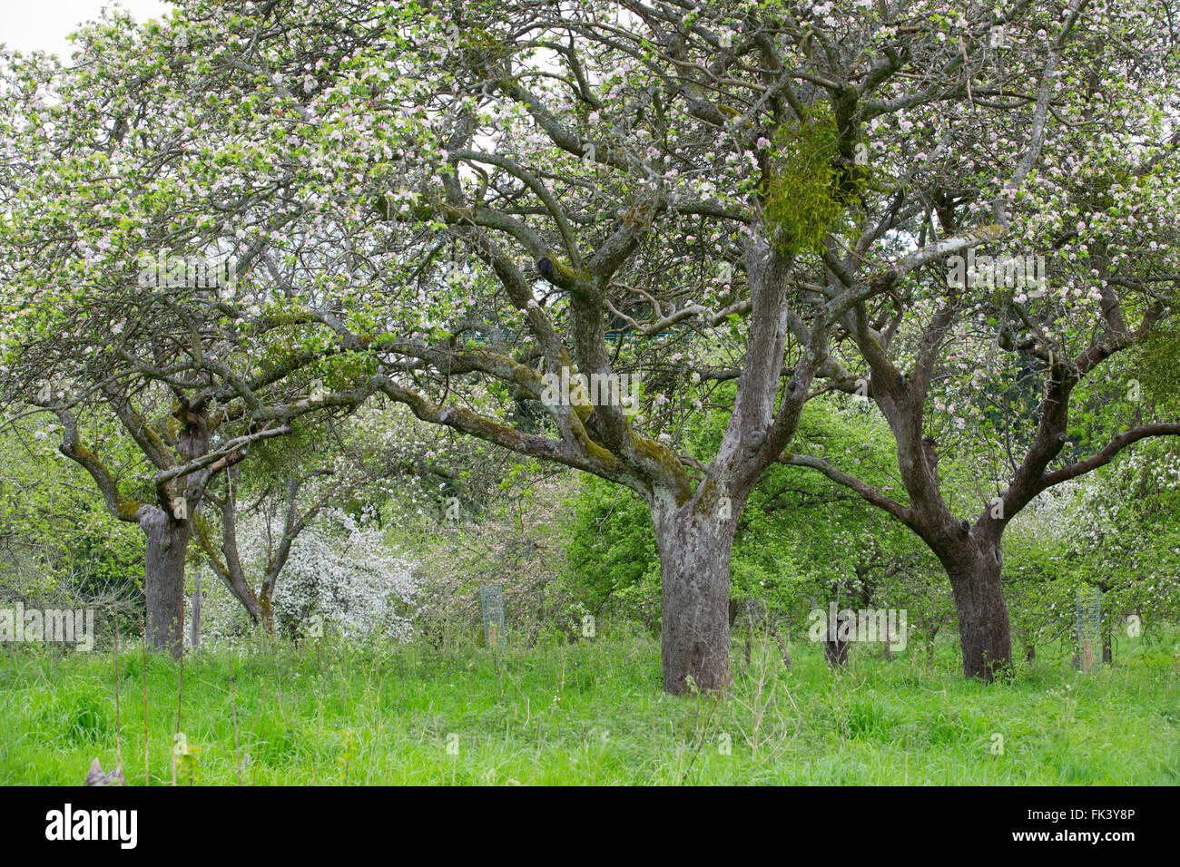Obstgarten; Untere Breinton; Frühling; Herefordshire; UK Stockbild