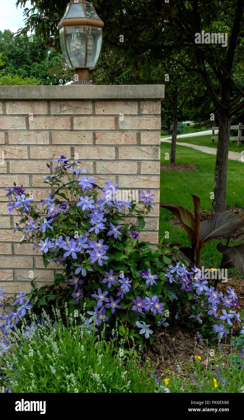 Clematis Integrifolia ARABELLA, blau, kleine blühende Clematis ...