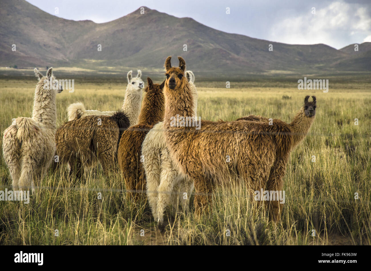 Lamas im Feld in der Nähe von der Ruta Nacional 40, Provincia de Jujuy Stockbild
