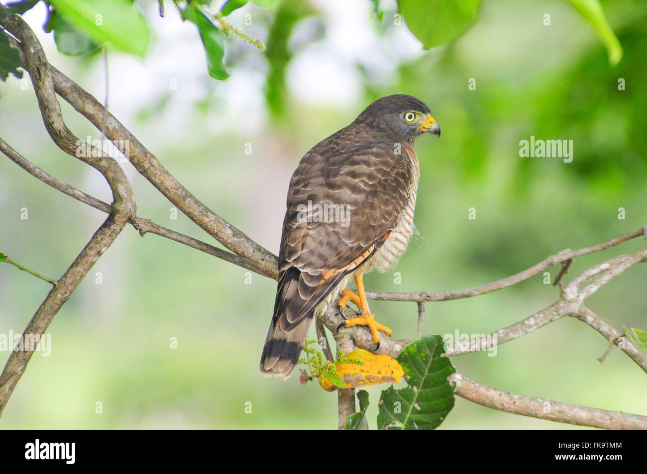 Am Straßenrand Falke thront auf Zweig Stockbild