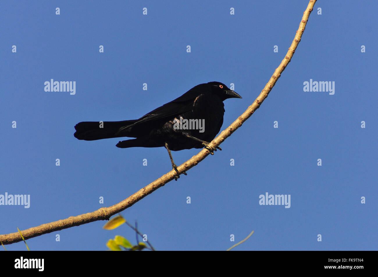 Grauna Zweig in das Pantanal Pocone Stockbild