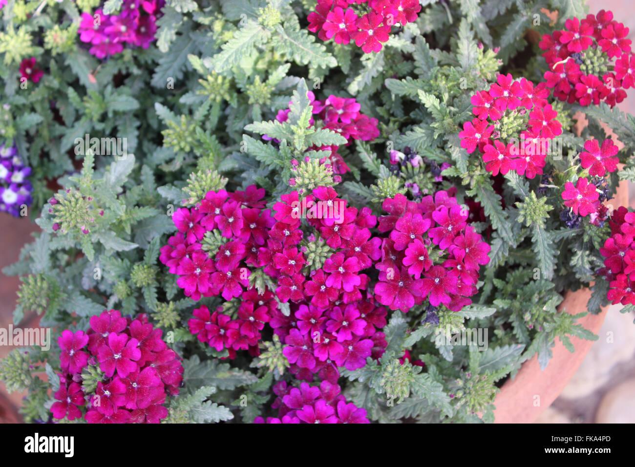 verbena x hybrida sandy rose familie lamiaceae. Black Bedroom Furniture Sets. Home Design Ideas