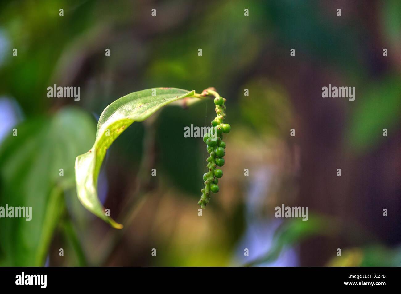 grünem Pfeffer auf einer Plantage in Kerala, Südindien Stockbild