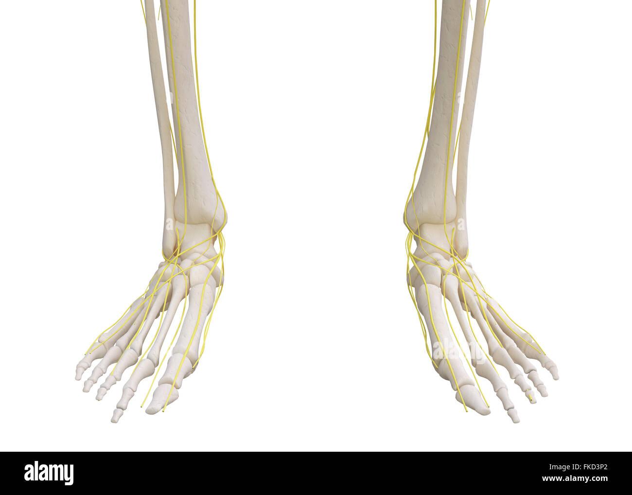 Fuß-Skelett mit Nervensystem isoliert auf weiss Stockfoto, Bild ...