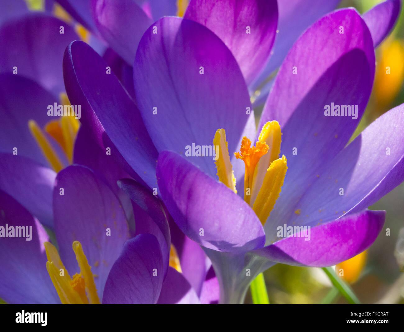 Etwas Neues genug Krokus Nahaufnahme von Pflanzen mit Pollen. Violette Blätter und &JZ_95