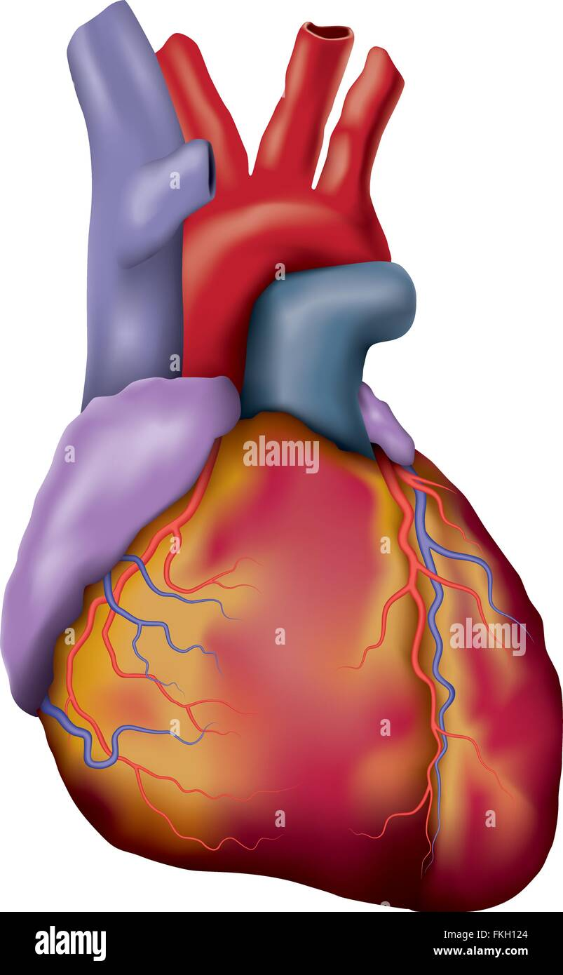 Human Heart Illustration Stockfotos & Human Heart Illustration ...