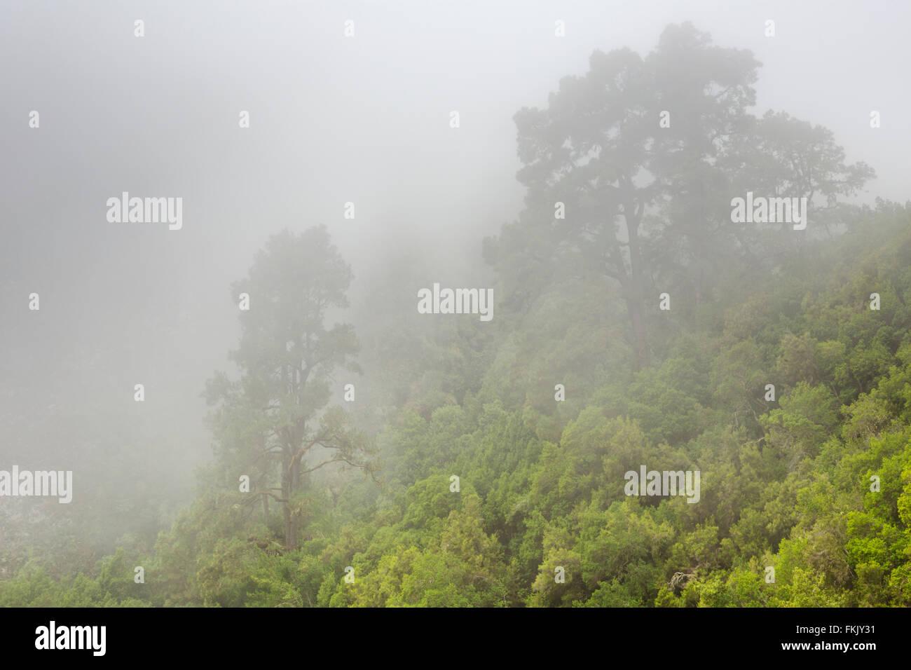 Bäume im Nebel im Wald Los Tilos auf La Palma, Kanarische Inseln, Spanien. Stockbild