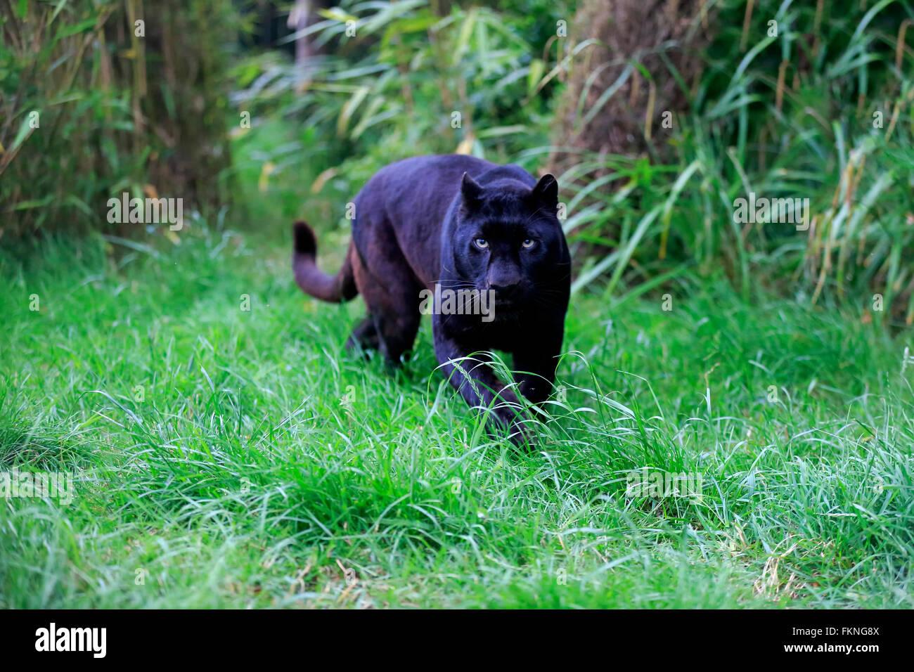 leopard schwarzer panther afrika panthera pardus. Black Bedroom Furniture Sets. Home Design Ideas