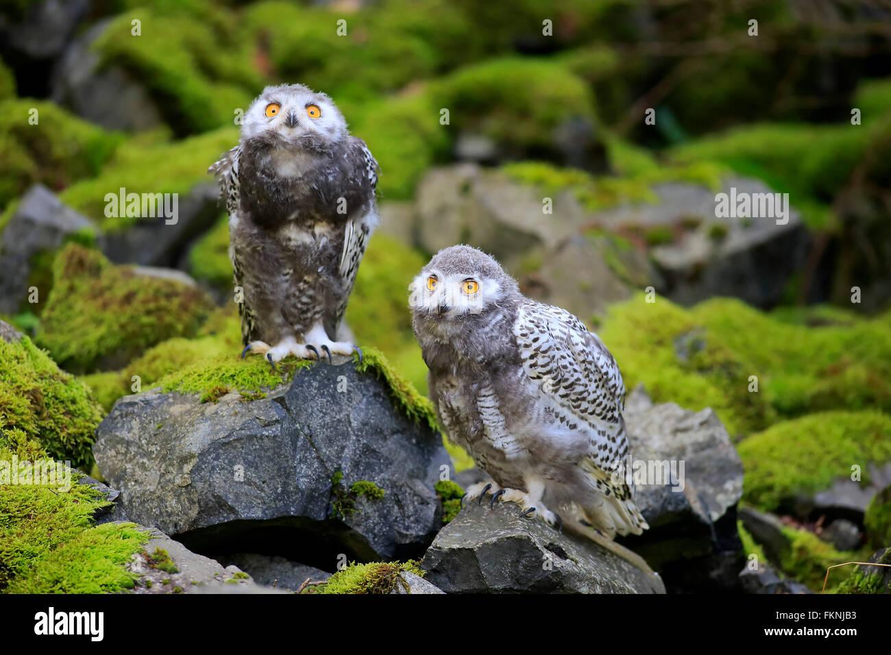 Schneeeule, Jungvögel, Skandinavien, Europa / (Nyctea Scandiaca) Stockbild