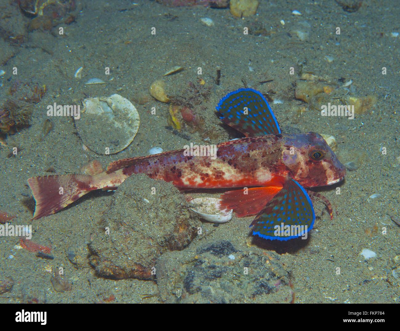 Knurrhahn Fisch schwimmt ins Meer zeigt seine Farben Stockfoto, Bild ...