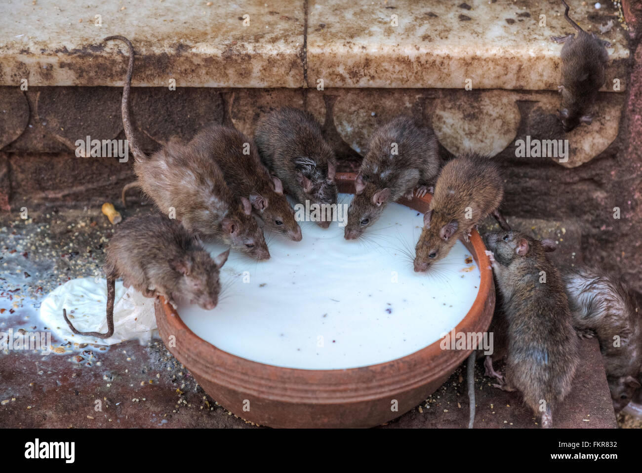 Karni Mata Tempel, Ratten, Deshnoke, Bikaner, Rajasthan, Indien Stockbild