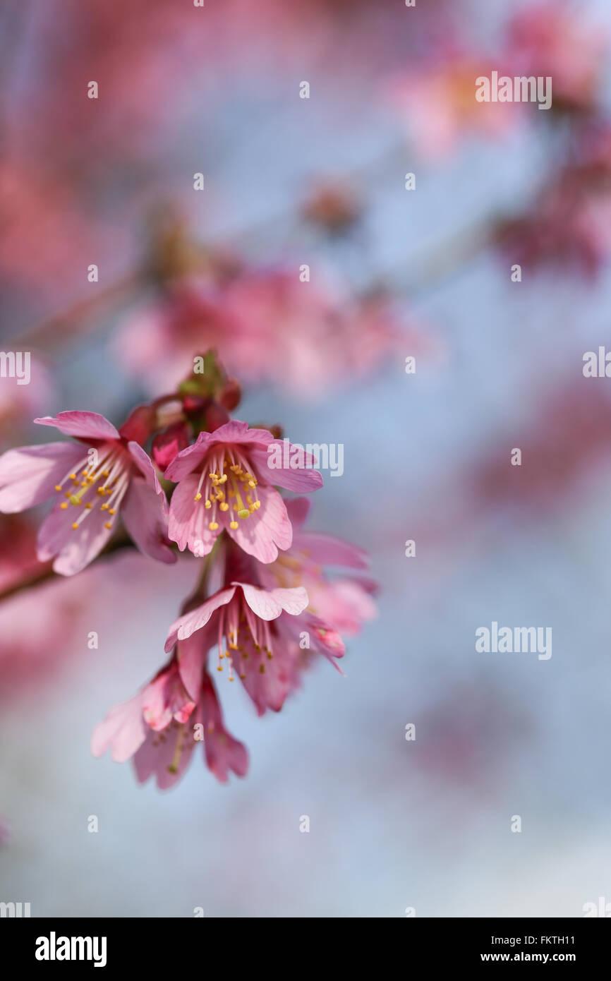 Frische, blühende Baum im Frühjahr mit rosa Blüten Stockbild