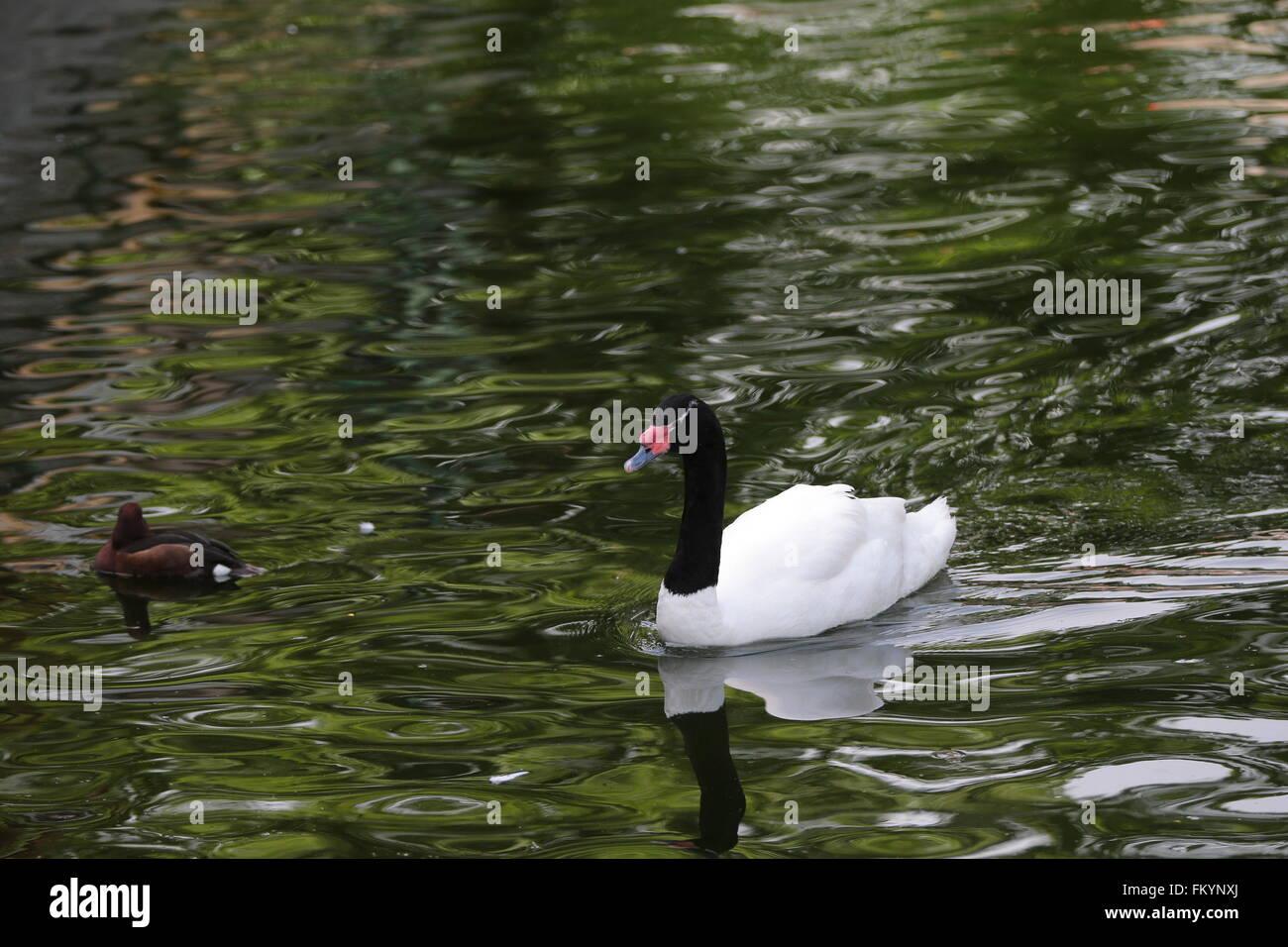 Höckerschwan (Cygnus Olor) auf dem Wasser Stockbild