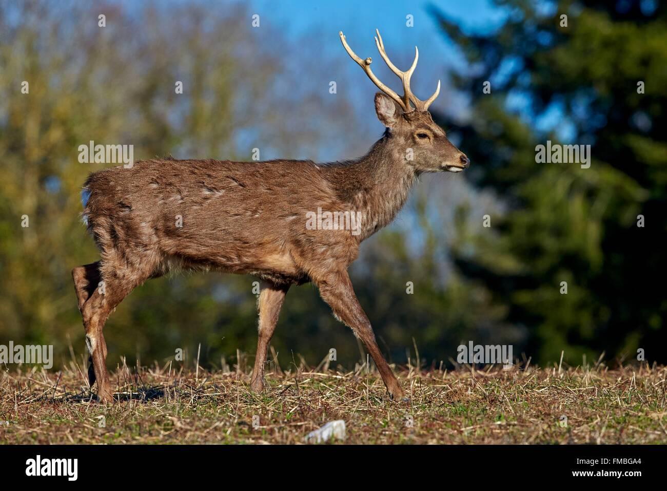 Frankreich, Haute Saone, privater Park, Sika Rotwild (Cervus Nippon), Hirsch, stehen am Rande des Waldes Stockbild