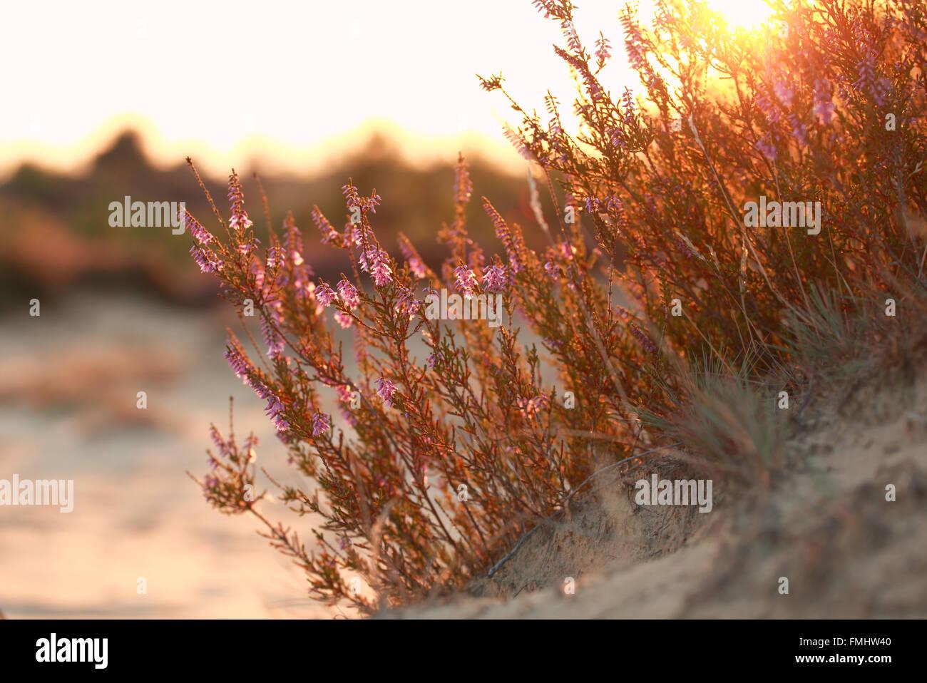 Heidekraut Blumen auf Sandhügel bei gold Sonnenuntergang Stockbild
