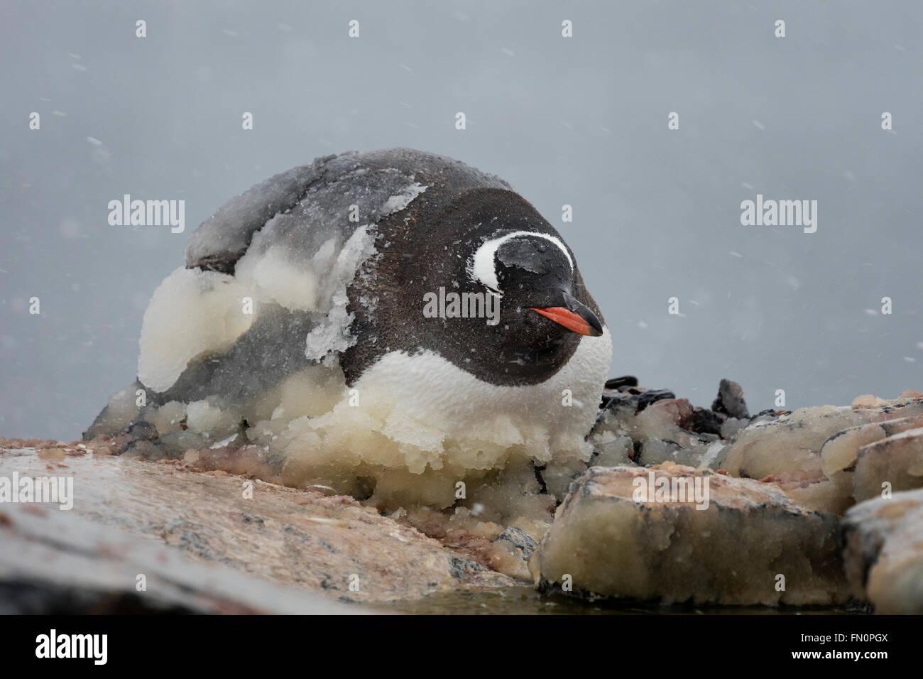 Antarktis, antarktische Halbinsel, Booth Island, Gentoo Penguin auf Nest, liegend mit Eis bedeckt Stockbild