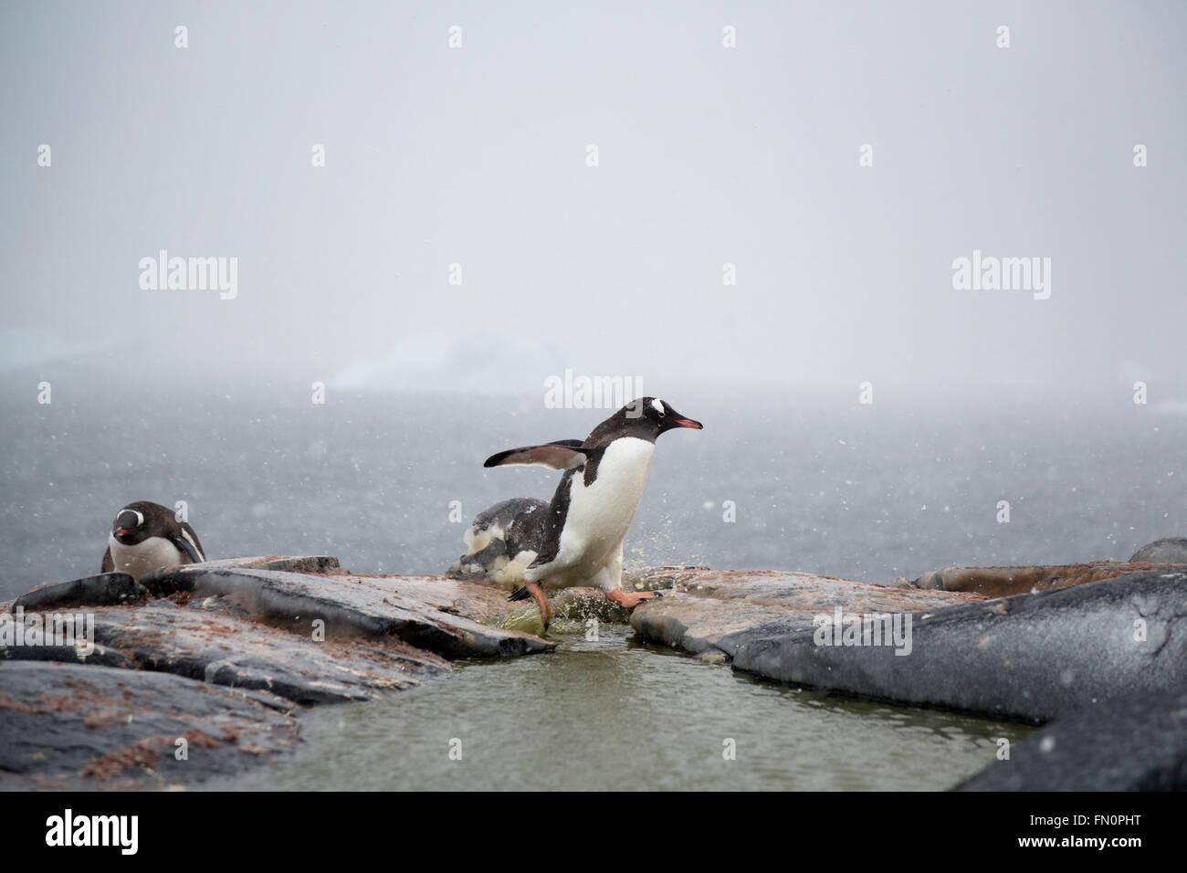 Antarktis, antarktische Halbinsel, Booth Island, Gentoo Penguin Abrufen von Steinen auf Nest setzen Stockbild