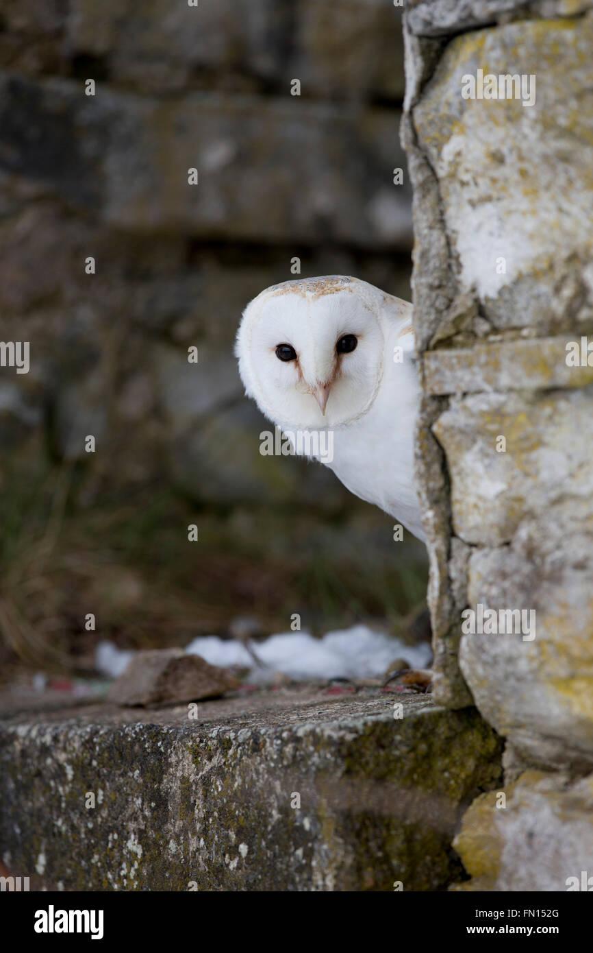 Schleiereule; Tyto Alba Single auf eine Wand Schottland; UK Stockfoto
