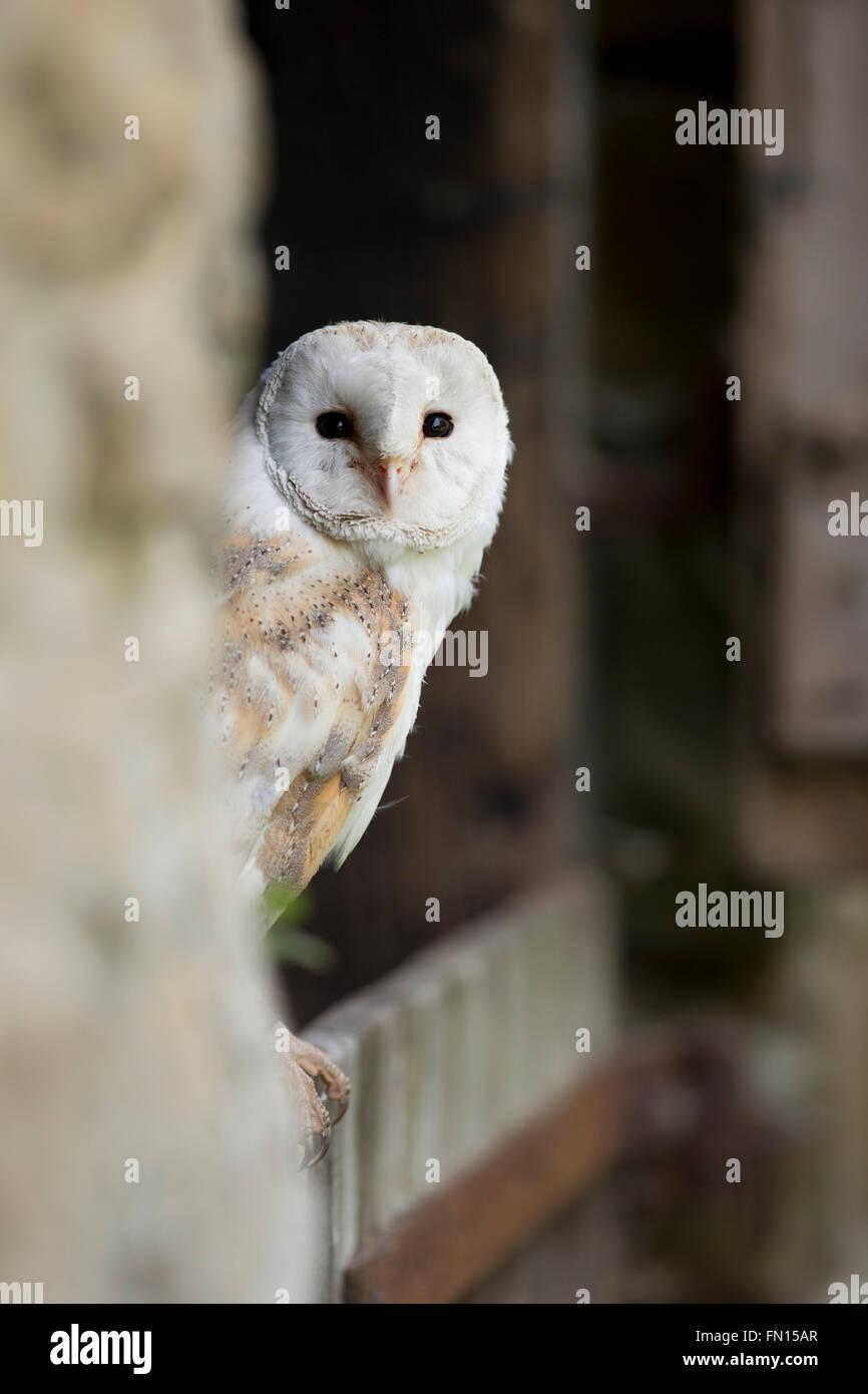 Schleiereule; Tyto Alba Single Portrait Wales; UK Stockfoto