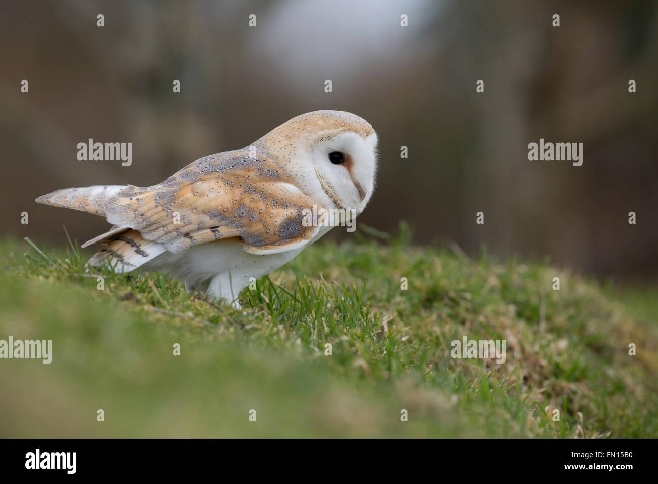 Schleiereule; Tyto Alba Single am Boden Cornwall; UK Stockfoto