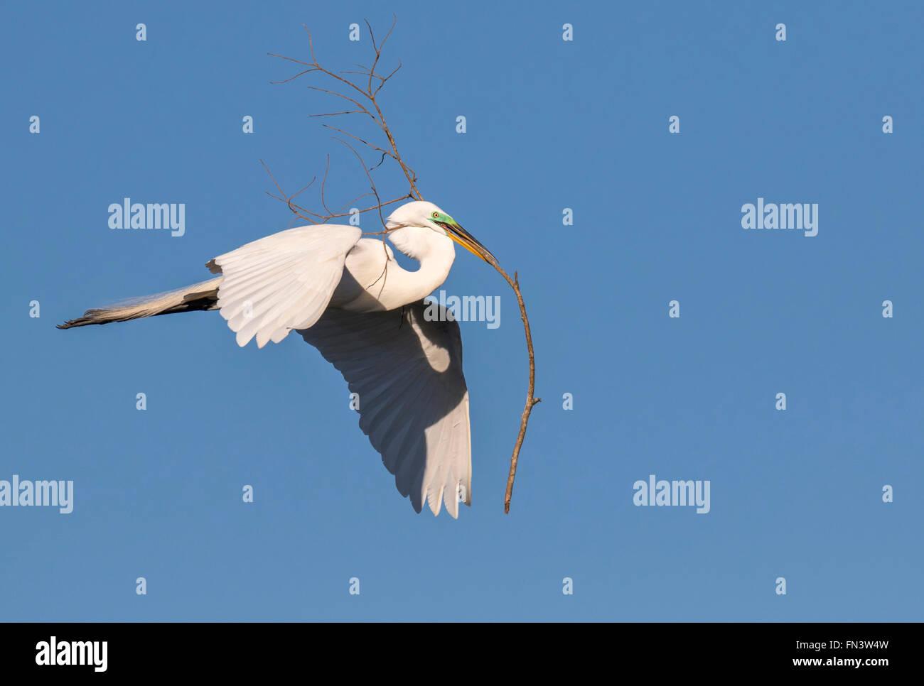 Silberreiher (Ardea Alba) fliegen mit Ast für das Nest, High Island, Texas, USA Stockbild