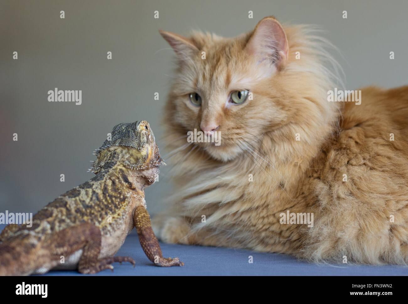 Eine Katze und eine Bartagame einander betrachtend. Stockbild
