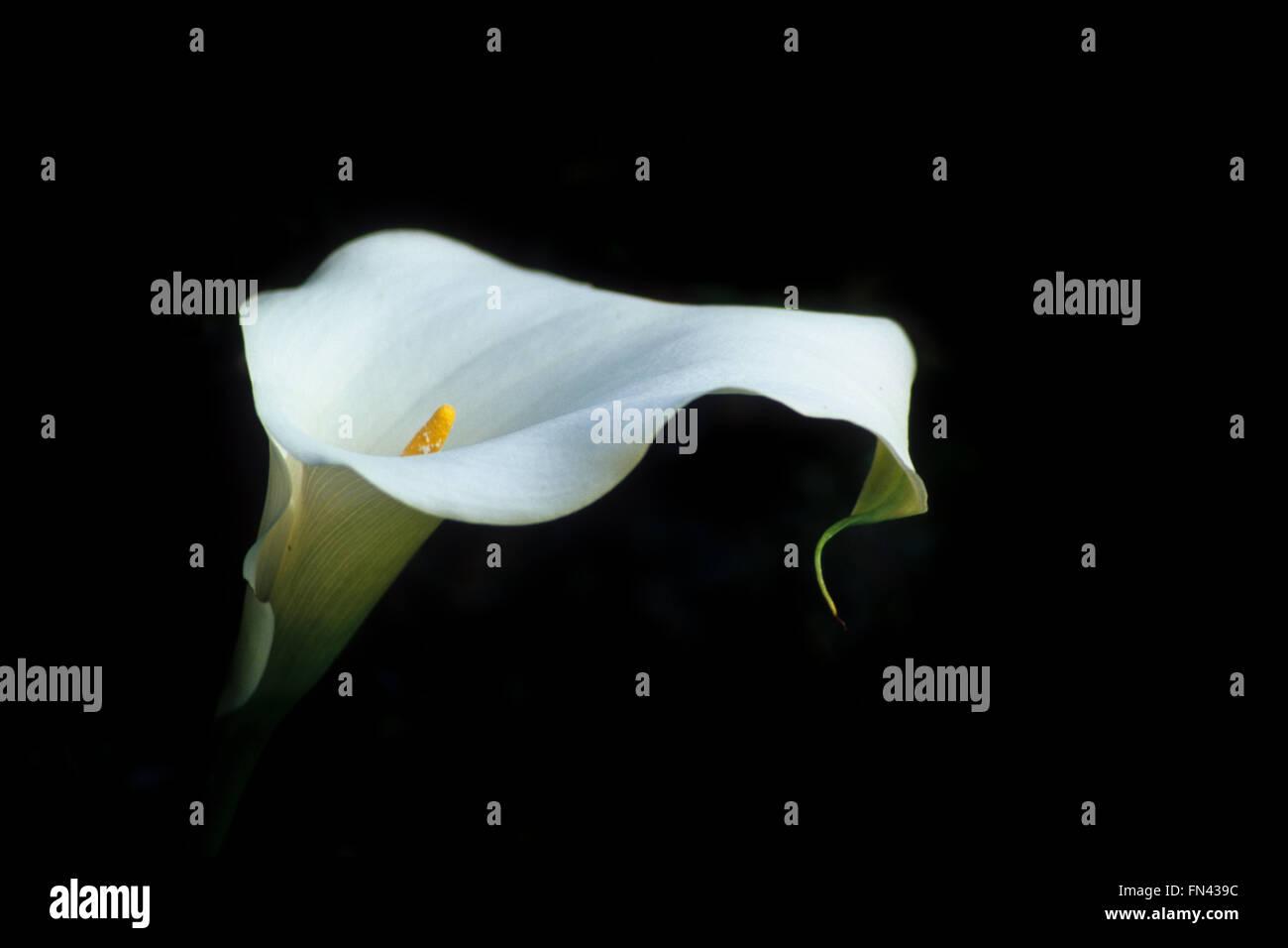 Einzelne weiße Lilie Arum Lilie (Zantedeschia Aethiopica) Blume Stockfoto