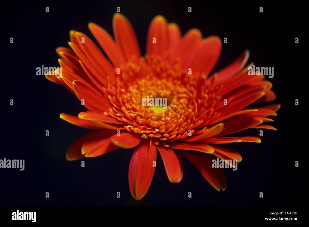 Einzelne Vibrant Orange Gerbera auf schwarzem Hintergrund Stockbild