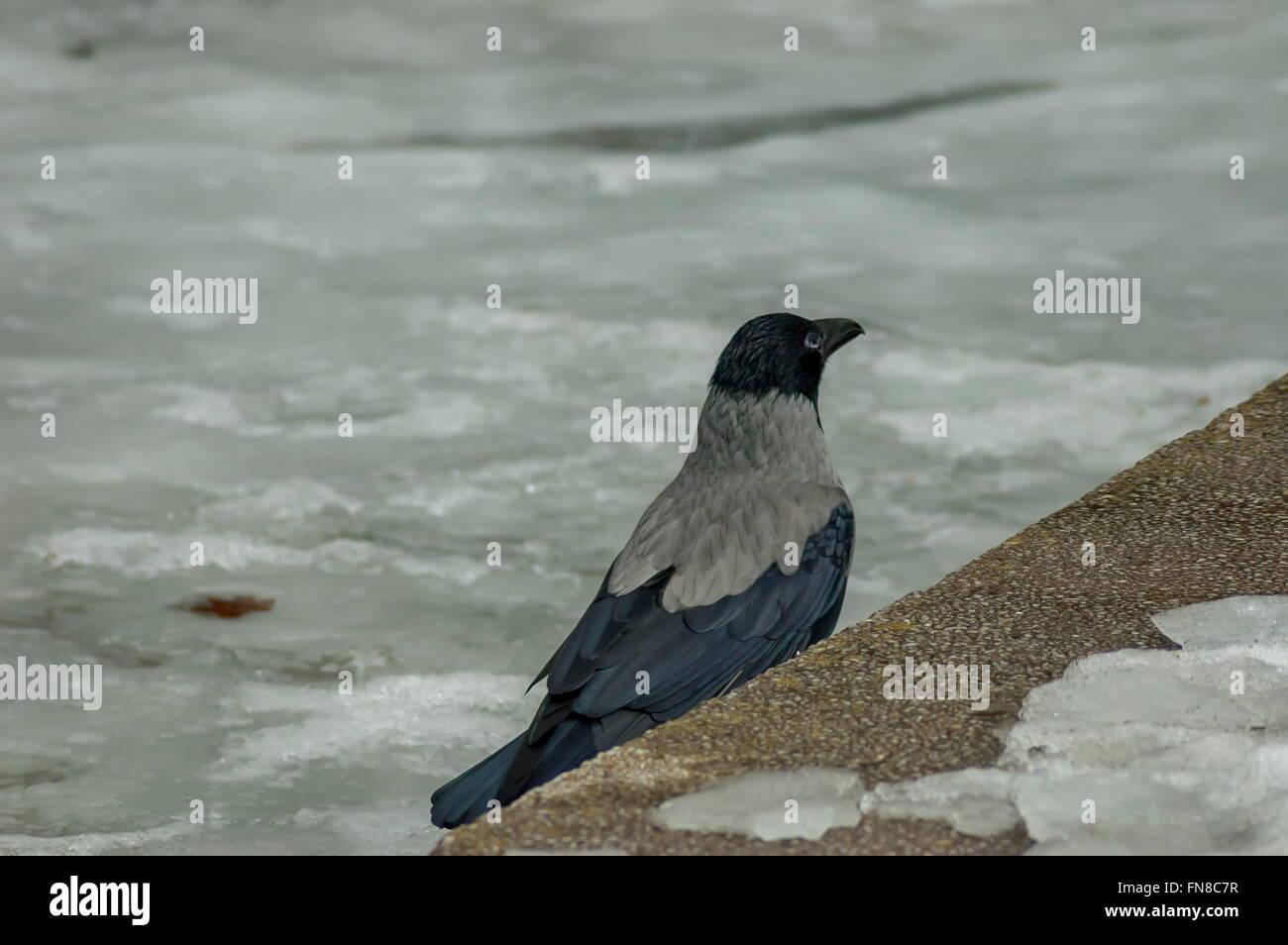 Crow ruhen auf dem zugefrorenen Teich im Winter, Sofia, Bulgarien Stockbild