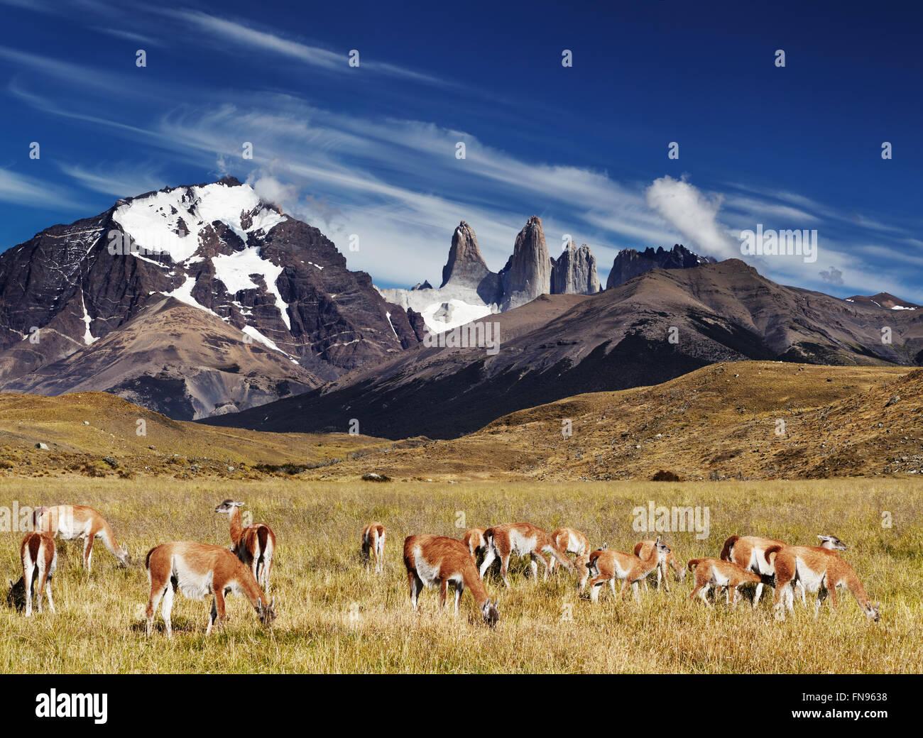 Herde von Guanako im Nationalpark Torres del Paine, Patagonien, Chile Stockbild