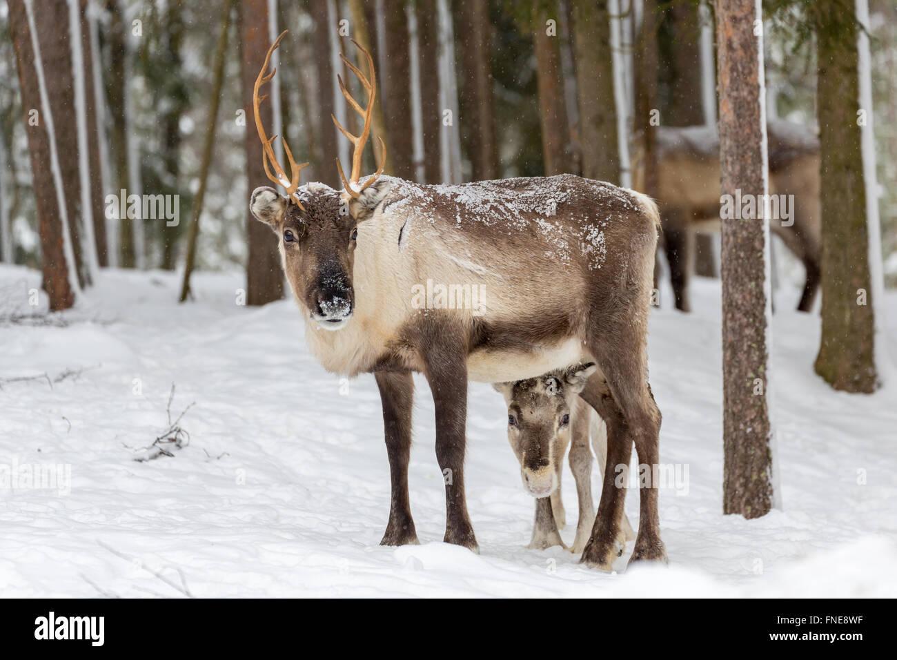 Zwei Rentiere (Rangifer Tarandus) im Schnee, Gefangenschaft, Kivilompolio, in der Nähe von Rovaniemi, Lappland, Stockbild
