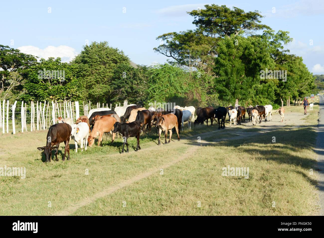 Santiago De Cuba, Kuba - 14. Januar 2016: Bauer führt seine Herde der Kühe in der Nähe von Santiago Stockbild