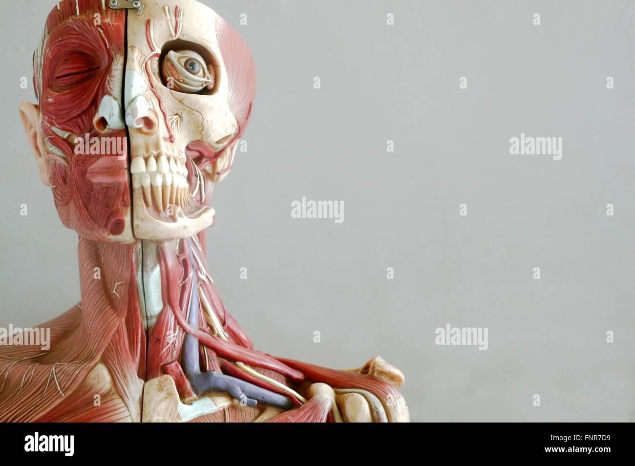 Fantastisch Arterien Im Nacken Ideen - Menschliche Anatomie Bilder ...