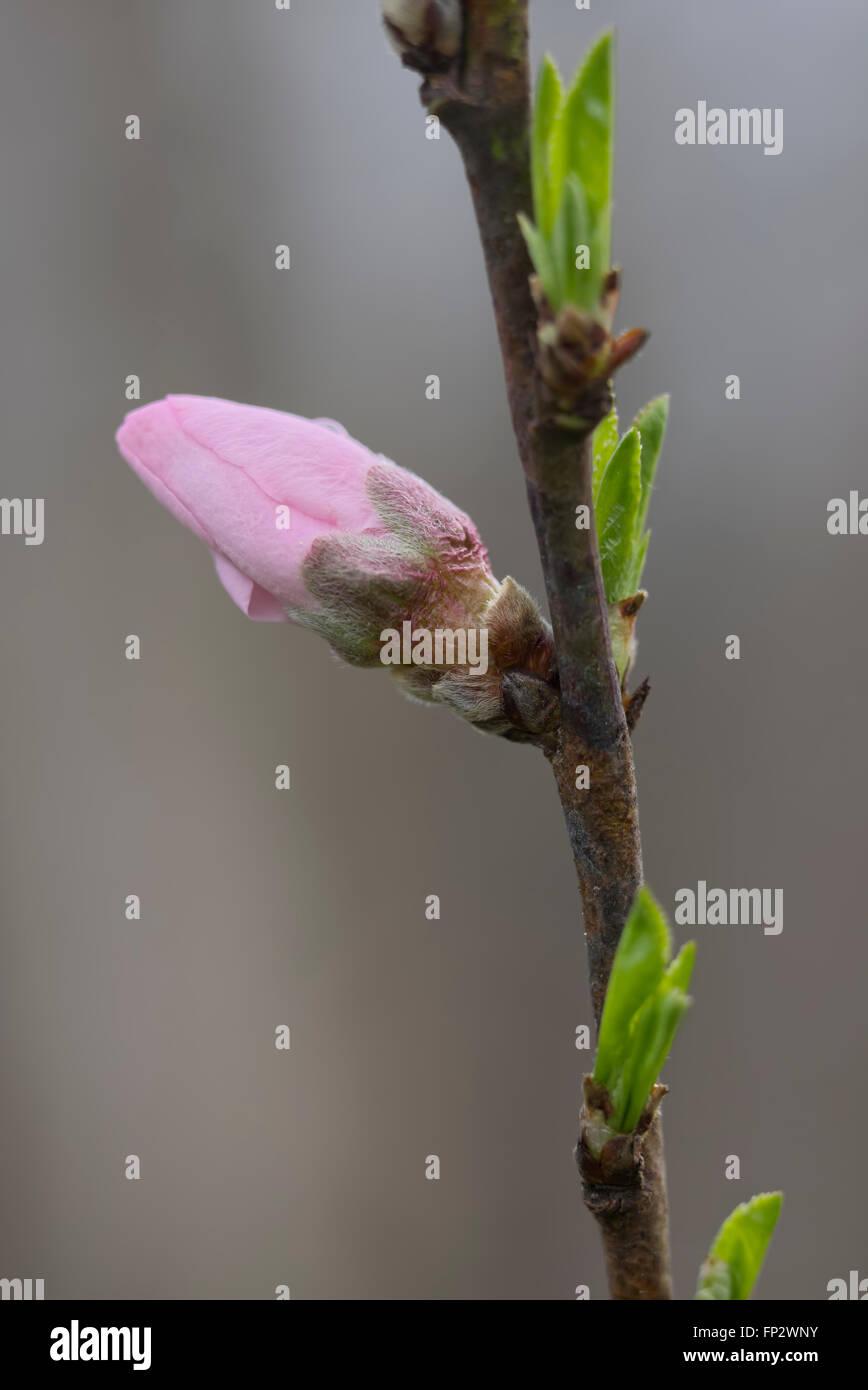 Nektarine Frucht Baum Knospen und Blüten. Super süß / Sweet Pearl Stockbild
