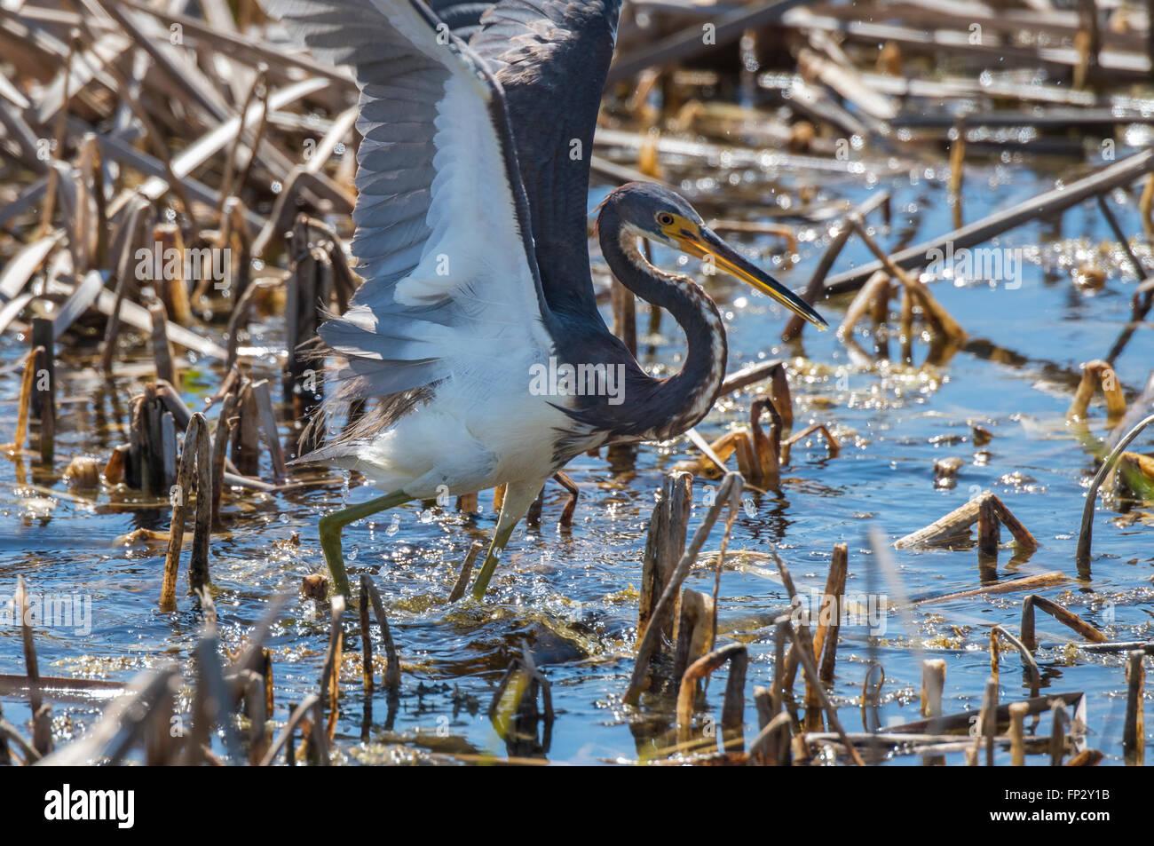 Tri Color Heron aktive Fütterung im Sumpf Schilf Stockbild