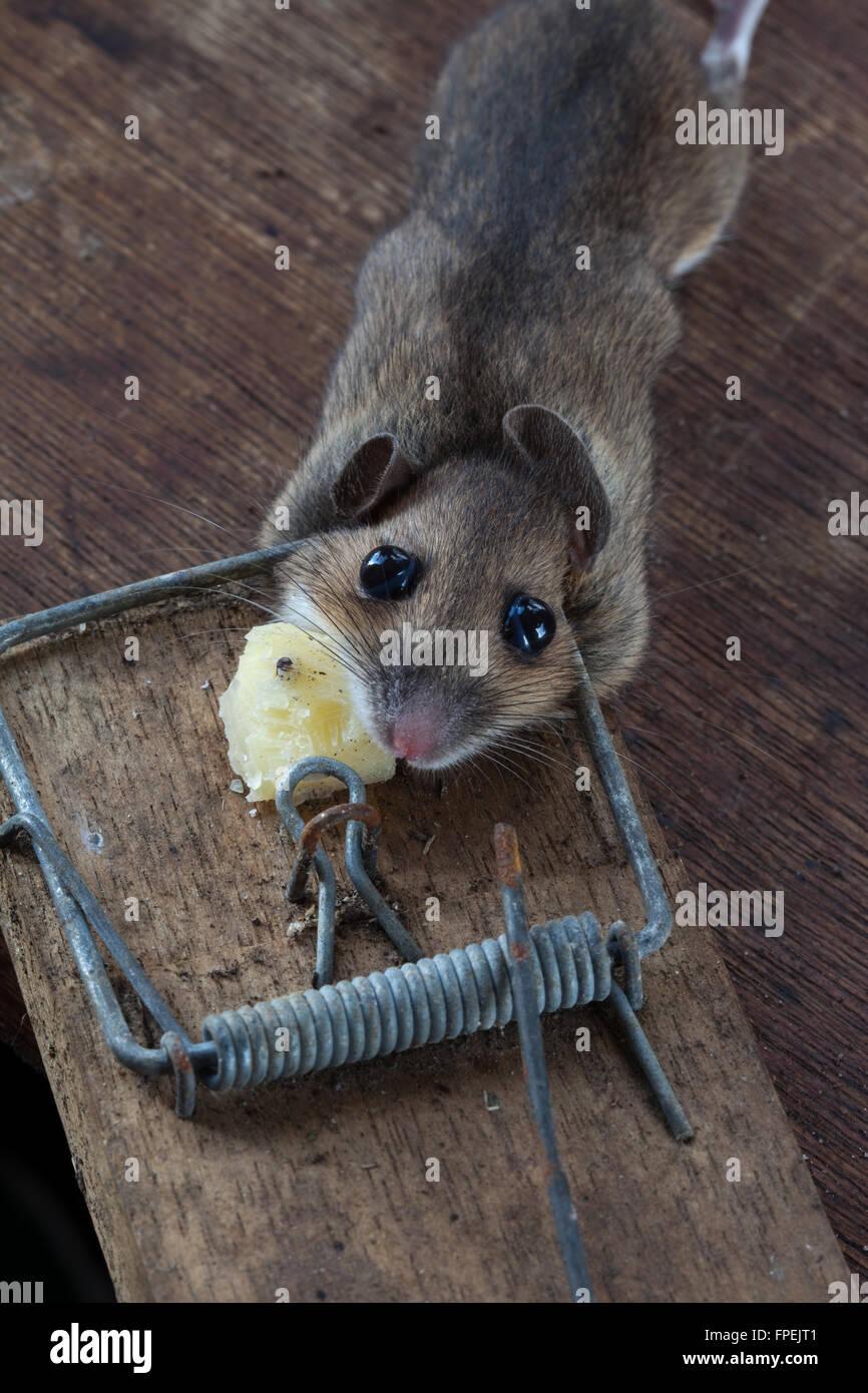 Waldmaus oder Long-tailed Feldmaus (Apodemus Sylvaticus). Gefangen, getötet, Humaely in einer Frühling Stockbild